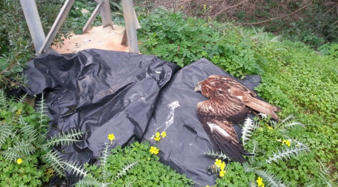 Red kites electrocuted by a pylon in Mahon