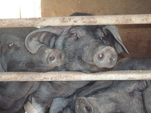 Menorcan black pigs