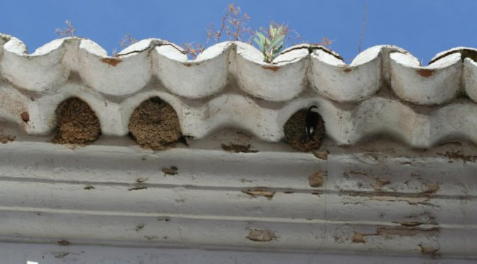 Typical house martin nests