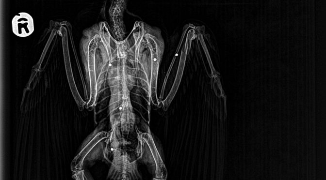 X-ray photograph from the wounded falcon
