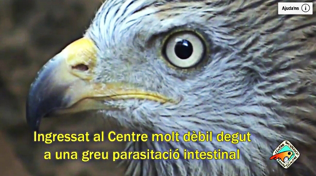 Video of a saved Red Kite