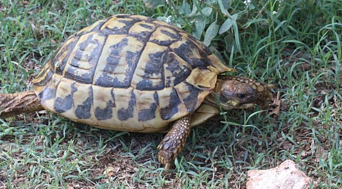 The Mediterranean tortoise (Testudo hermanni)