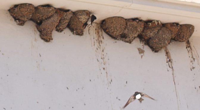 Fauna from Menorca: the house martin
