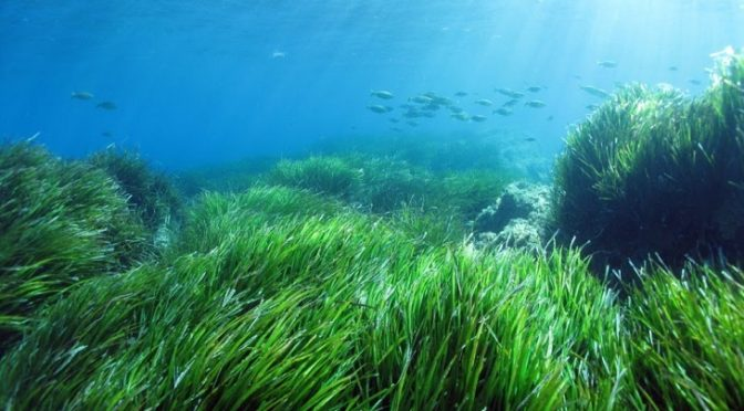 Good news about posidonia and the sea
