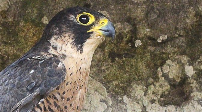 GOB reports on yet another hawk shot, this time twice