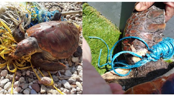 Entangled marine turtles
