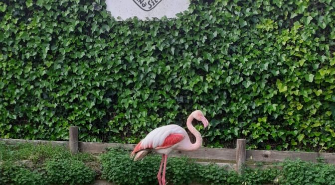 Successful recuperation of a flamingo saved after a storm