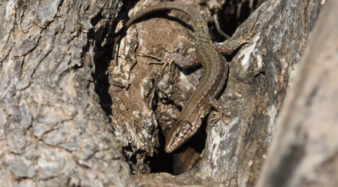 The imminent disappearance of a lizard from Ibiza and Formentera highlights biodiversity problems in the Balearics